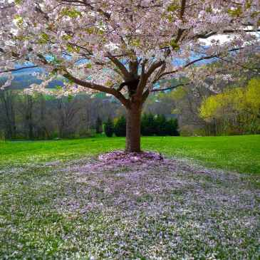 cherry blossom tree | Balanced Bodycare