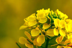 mustard flower | Balanced Bodycare